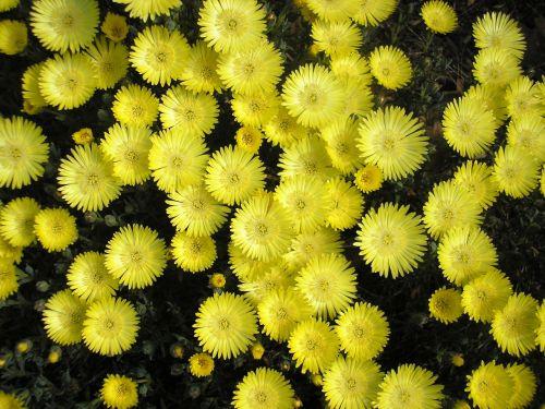 yellow pigface flower pigface