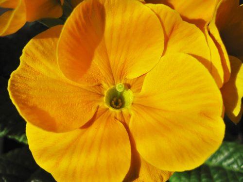 yellow primrose primrose flower partial view