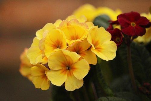 yellow primroses  frühlingsblüher  primroses