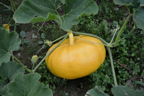 yellow pumpkin garden vegetable garden