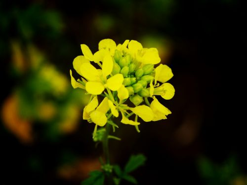 Yellow Raps Flower