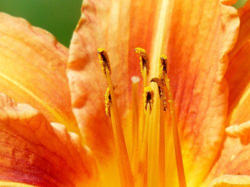 yellow red daylily hemerocallis fulva brown red daylily