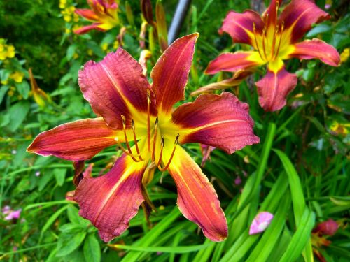 yellow red daylily lily hemerocallis fulva
