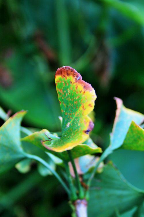 Yellow Ridge Of Ginkgo Biloba Leaf