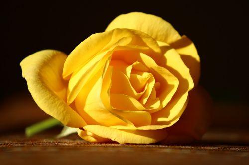 yellow rose innocent beautiful