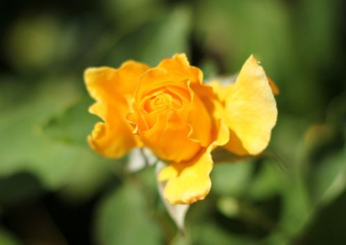 yellow rose garden botanic