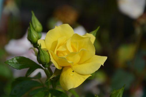 yellow rose rosebuds jardiniere