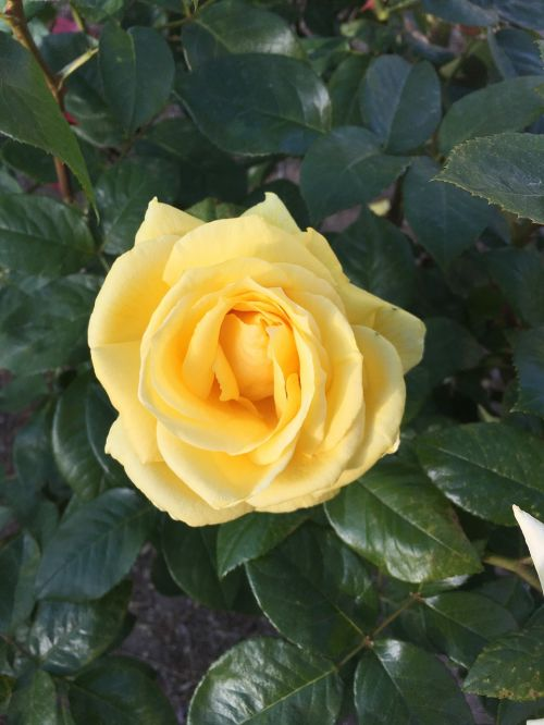 yellow rose rosa yellow