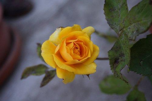 yellow rose  yellow  rosa