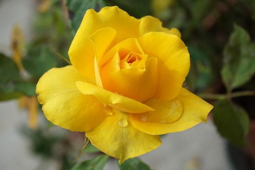 yellow rose  yellow  rosa