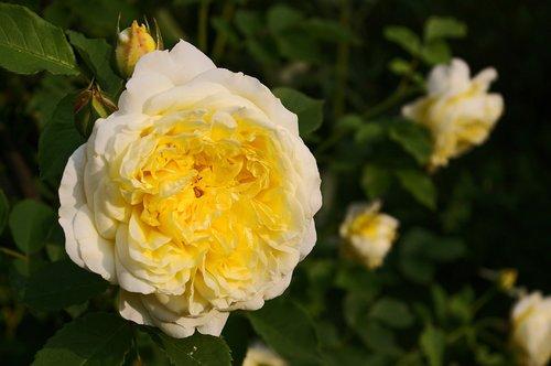 yellow rose  rose  garden rose