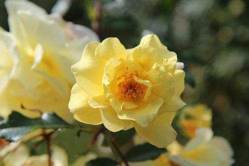 yellow rose  pink blossomed  rosebush