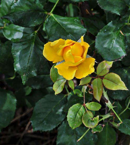 Yellow Rosebud Opening