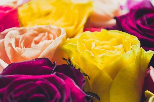 yellow roses  yellow flowers  yellow buds