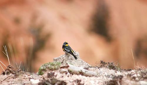 yellow rumped warbler bird looking