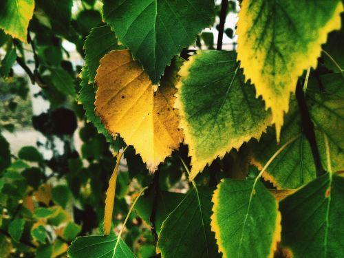 yellow sheet birch autumn