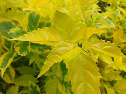 yellow sheet leaf yellow