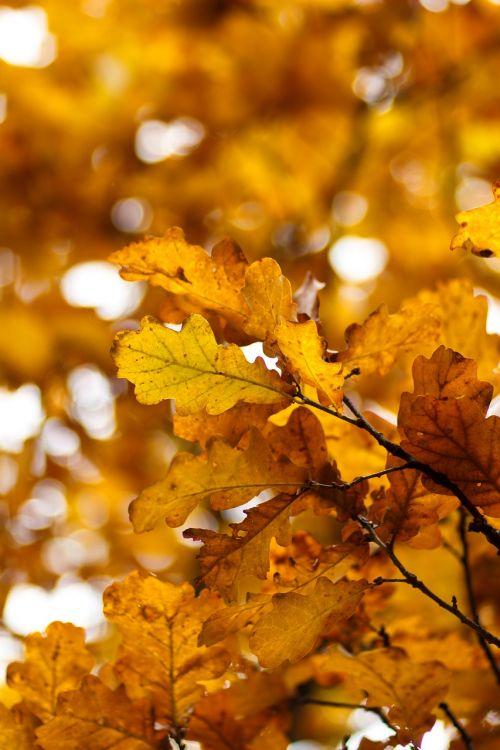 yellow sheet autumn oak