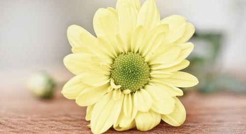 yellow strauchmargerite tree daisy yellow flower