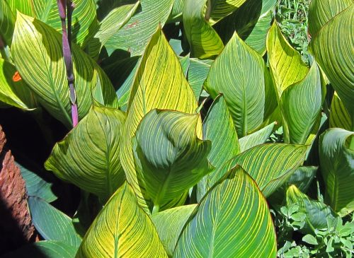 Yellow Striped Canna Leaves