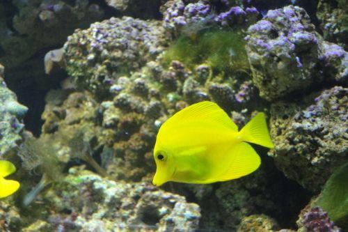 yellow surgeon zebrasoma flavescens fish