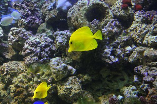 yellow surgeon zebrasoma flavescens exotic fish
