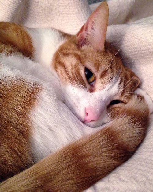 cat striped red fur