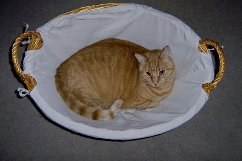 Yellow Tabby In Laundry Basket