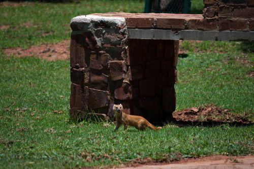Yellow Tail Mongoose