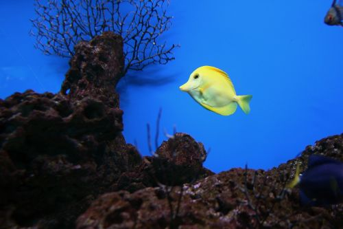 yellow tang fish saltwater
