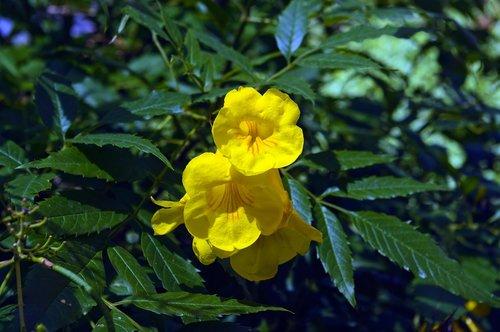 yellow trumpetbush  desert  wildflower