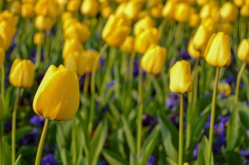 yellow tulips  tulips  yellow