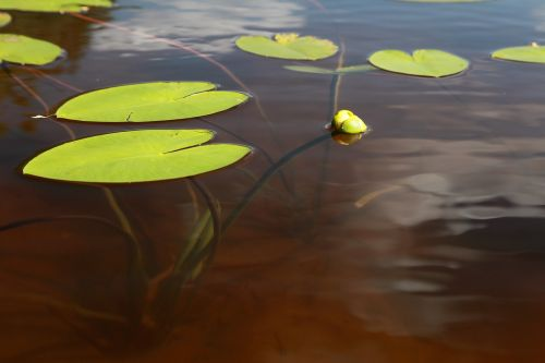 yellow water-lily ulpukan bud lake