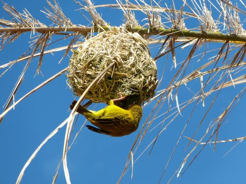 yellow weaver bird,nest,south africa