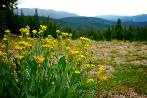 Yellow Weeds In Mountains