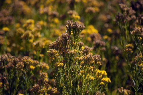 Yellow Wildflower Bush