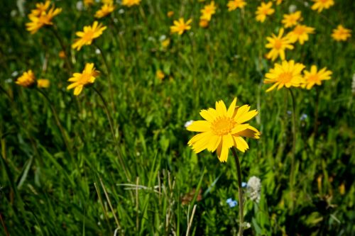 Yellow Wildflowers In Meadow