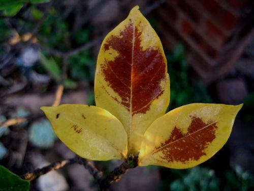 Yellowed Gardenia Leaves