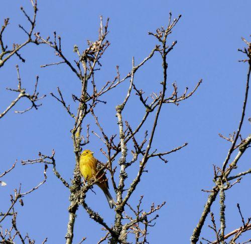 geltonakis,paukštis,trejetas,mėlynas dangus