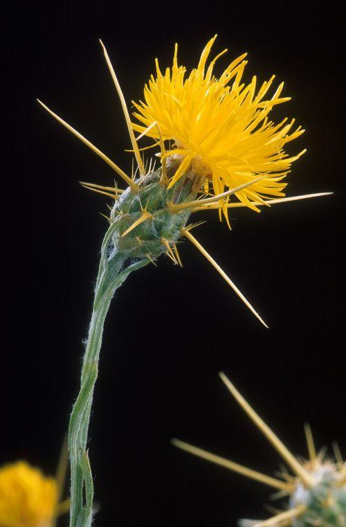 yellowstar thistle weed golden starthistle