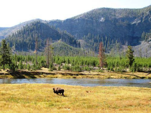 yellowstone bison yellowstone national park