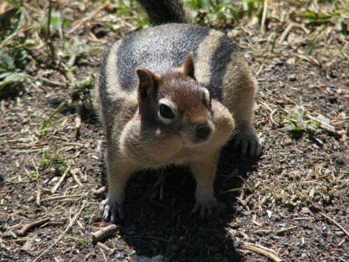 yellowstone national park ground squirrel squirrel