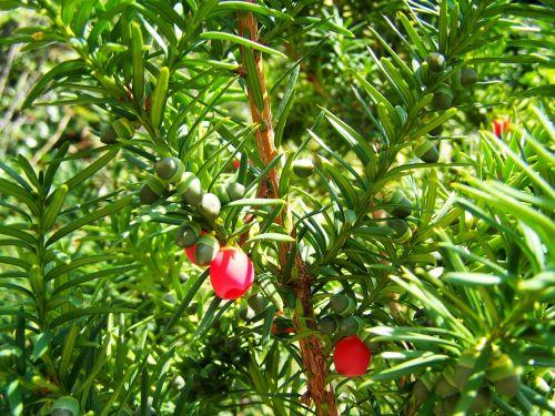 yew berries green
