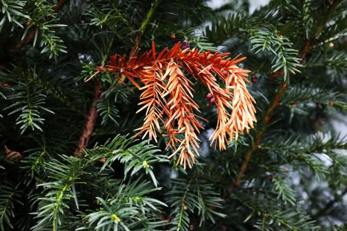 yew death dead plant