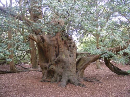 yew tree old england