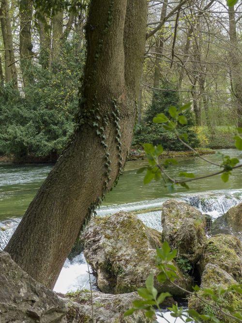 yew tree yew nature