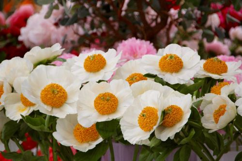 yolk flowers white yellow