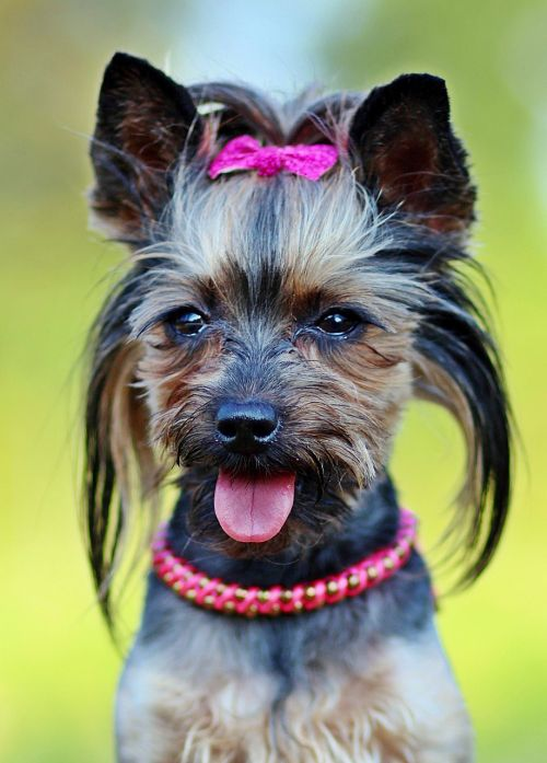yorkie dog fashionable
