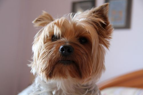 yorkshire,dog,animals,pet,hairy,yorskire terrier,yorkie,cute