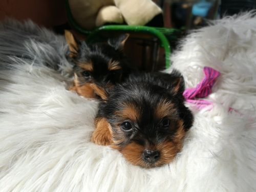 yorkshire terrier dog animal